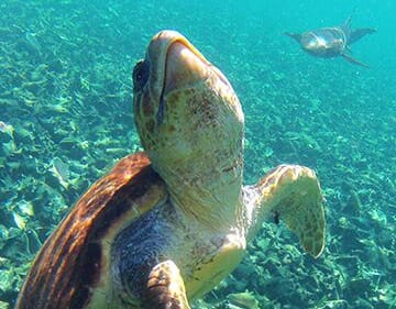 Sea turtle swimming off the coast of Ambergris Caye