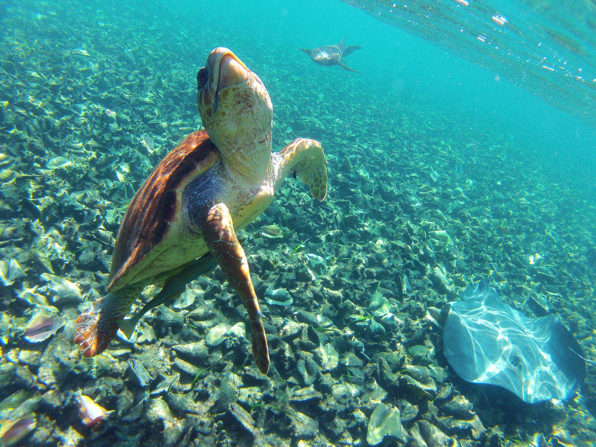 Sea turtle swimming off the coast of Ambergris Caye